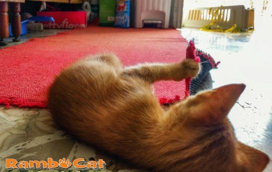Gatto gioca con tappeto rosso