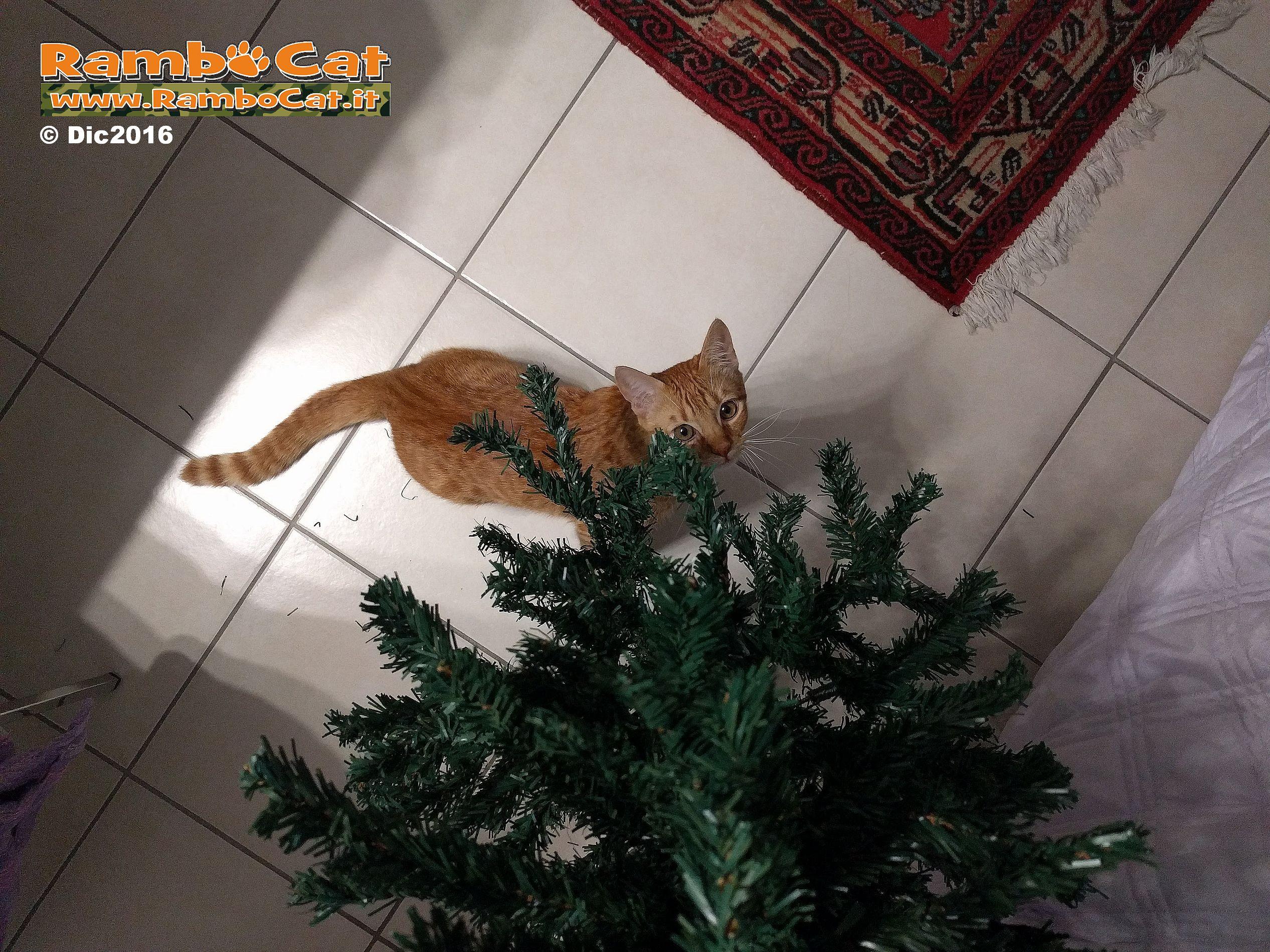 Gatto Rambo Cat osserva l'albero di Natale