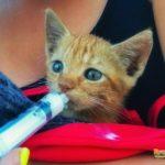 Latte al gatto con la siringa