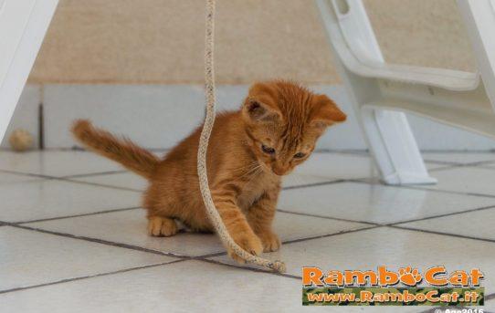 Il gatto Rambo gioca con una fune in terrazza