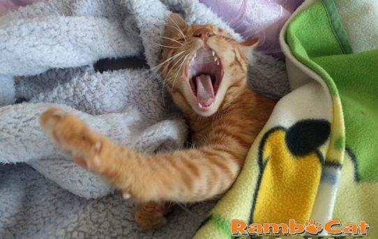 Gatto sbadiglia sotto le coperte