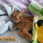 Gatto sonnecchia sotto le coperte