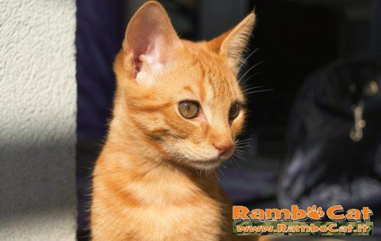 Primo piano del gatto Rambo sul terrazzo di casa ottobre 2016